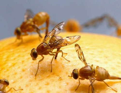 Medical Breakthroughs We Can Thank Fruit Flies For